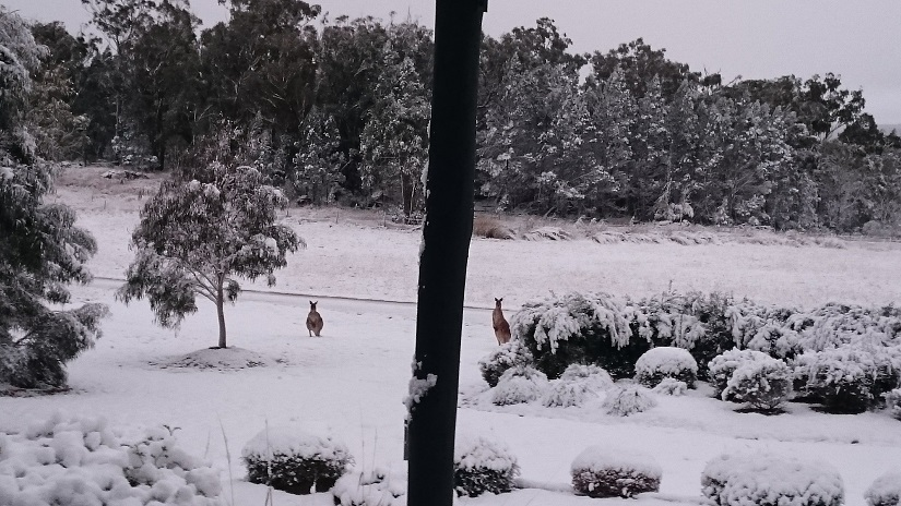 Alure Stanthorpe: kangaroos in the snow