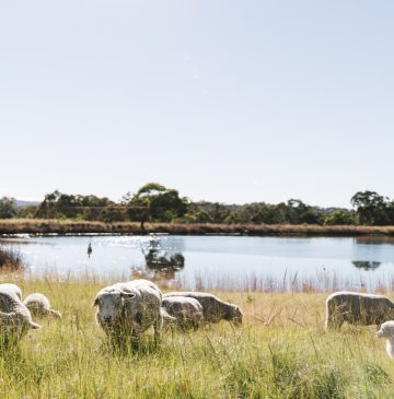 Sheep at Alure Stanthorpe